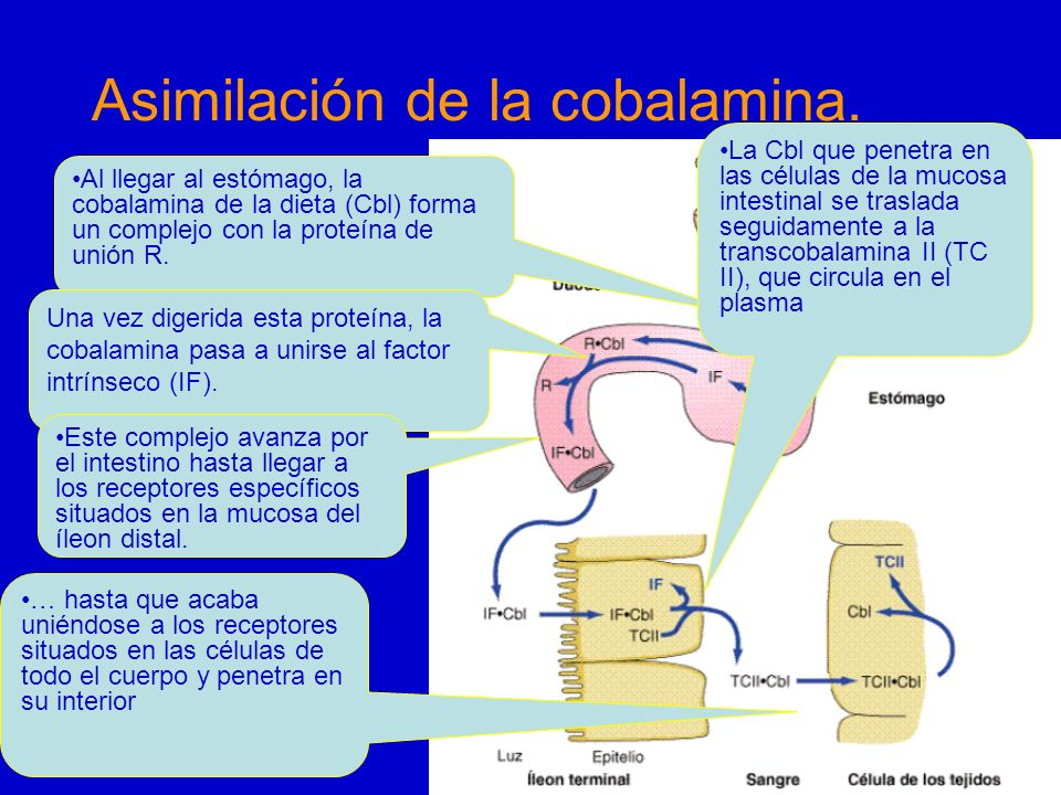 Asimilación de la cobalamina. Al llegar al estómago, la cobalamina de la dieta (Cbl) forma un complejo con la proteína de unión R. Una vez digerida es