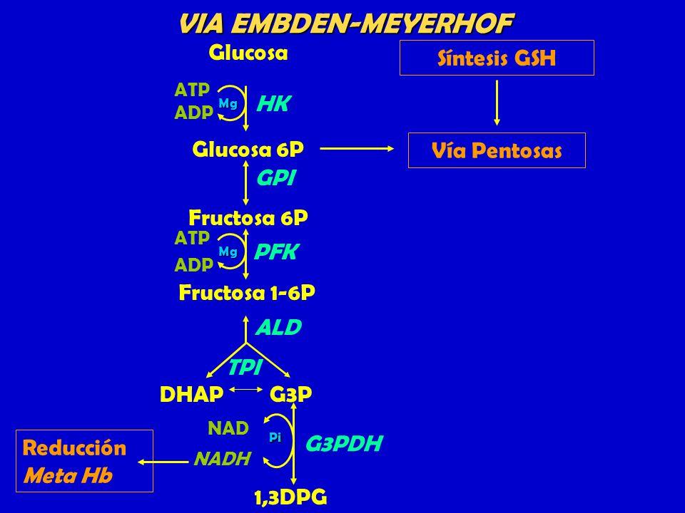 Glucosa Glucosa 6P GPI Fructosa 6P Fructosa 1-6P ATP ADP HK Mg DHAPG3P ALD TPI 1,3DPG NAD NADH G3PDHPi PFK Mg ATP ADP Vía Pentosas Síntesis GSH VIA EM
