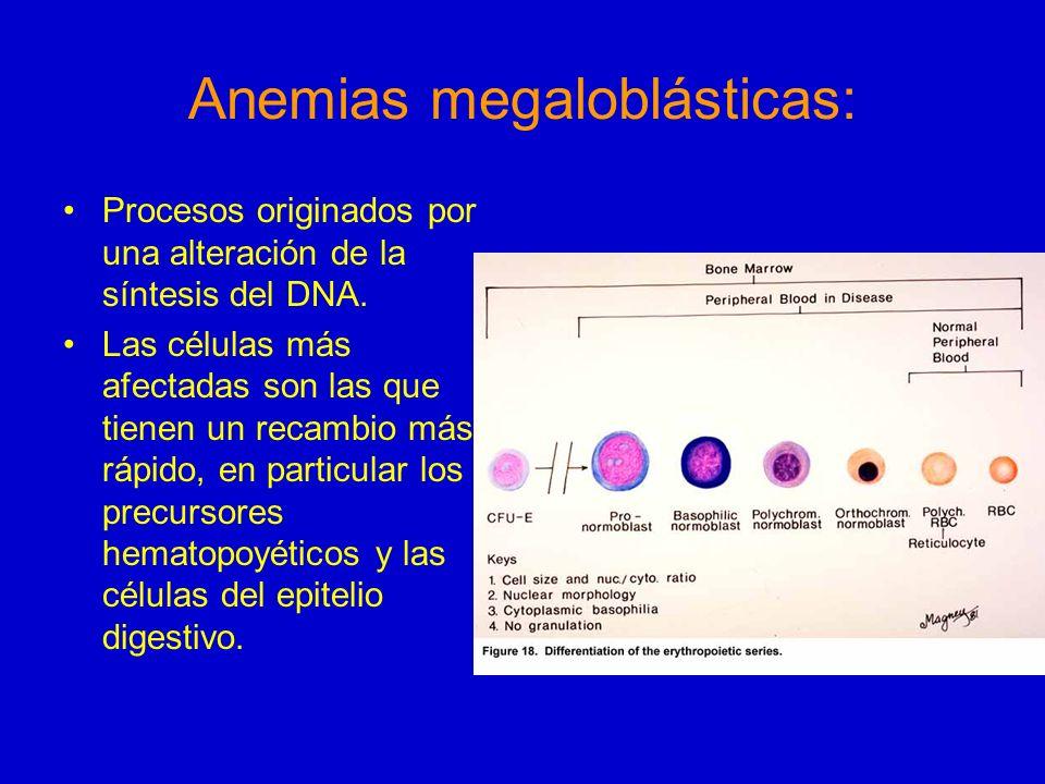 Anemias megaloblásticas: La multiplicación celular es lenta pero el desarrollo del citoplasma prosigue normalmente, y por eso las células megaloblásticas tienden a ser grandes, con un cociente RNA/DNA aumentado.