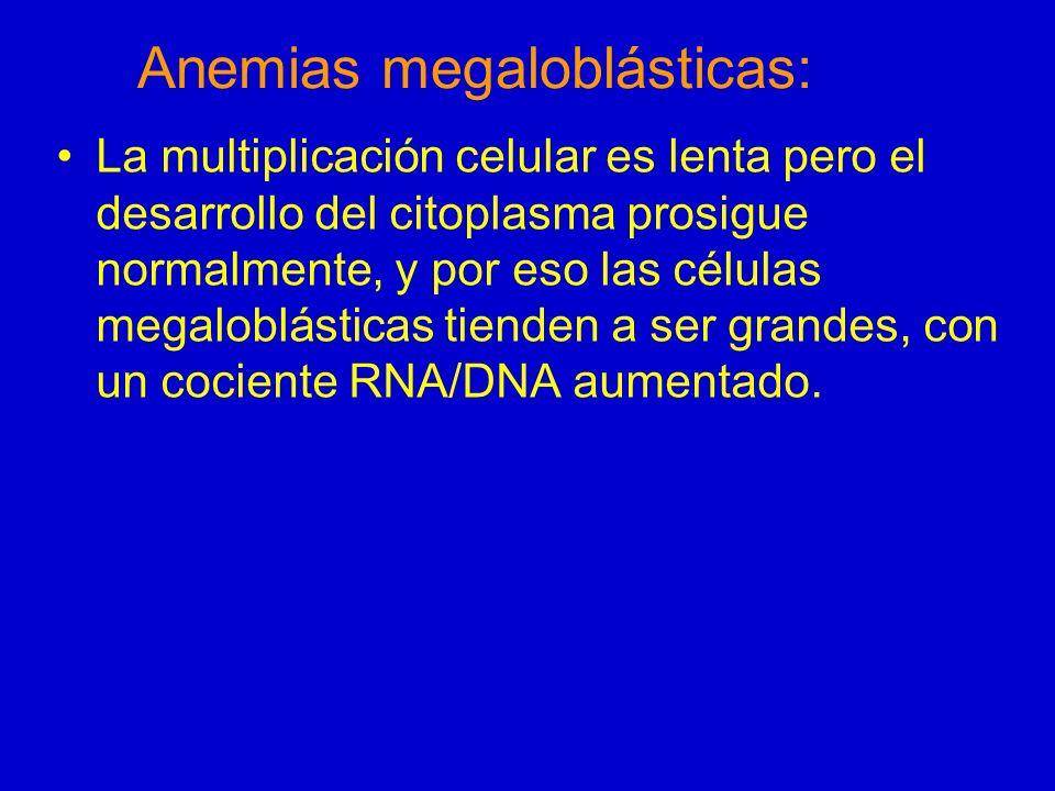 Anemias megaloblásticas: Eritropoyesis ineficaz –Los progenitores eritroides megaloblásticos tienden a destruirse en la médula.