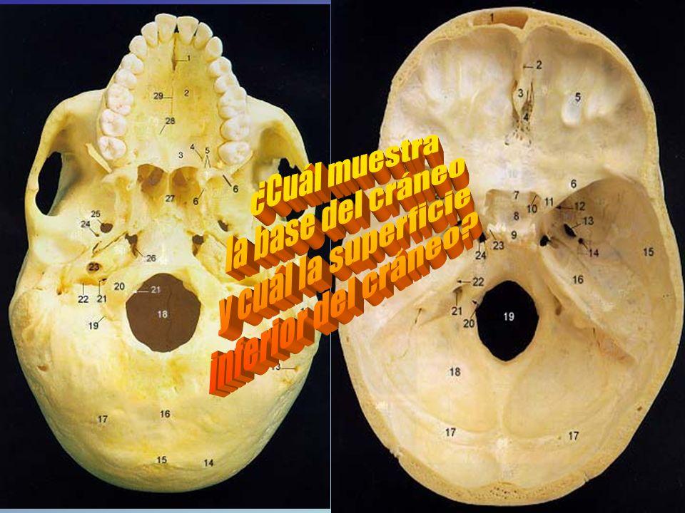 http://www.gwc.maricopa.edu/ class/bio201/skull/infskul.htm Inferior View of the Skull