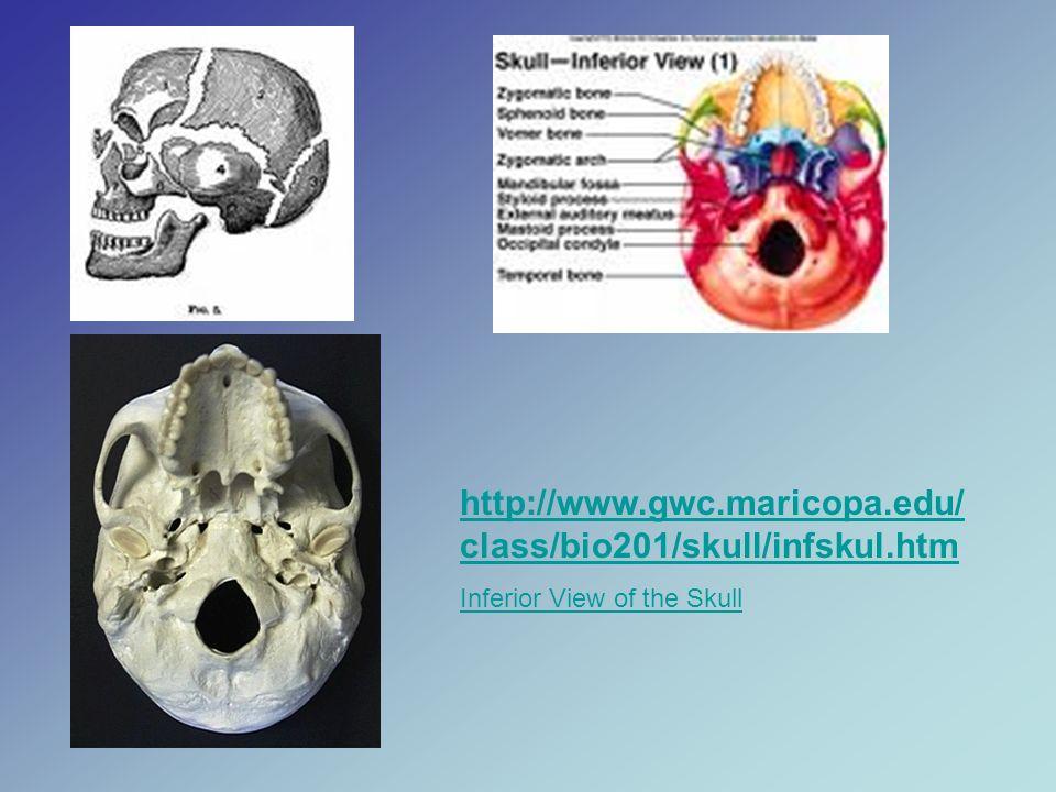 http://www.gwc.maricopa.edu/class/bio201/skull/intskul.htm Interior View of the Skull