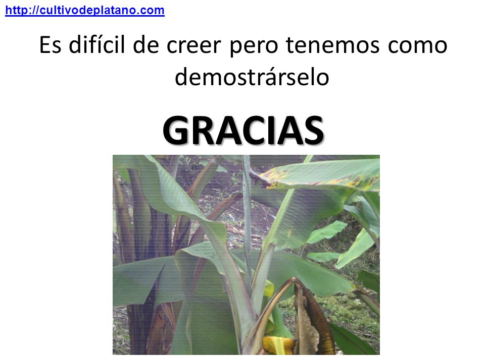 Es difícil de creer pero tenemos como demostrárseloGRACIAS http://cultivodeplatano.com