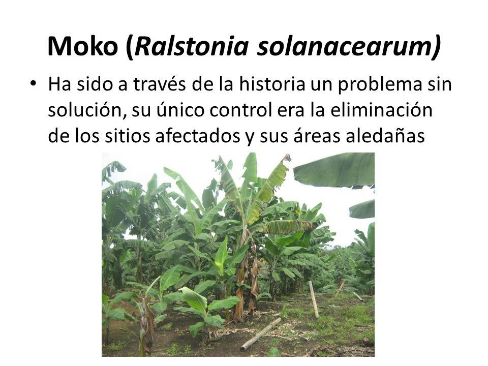 Moko (Ralstonia solanacearum) Ha sido a través de la historia un problema sin solución, su único control era la eliminación de los sitios afectados y