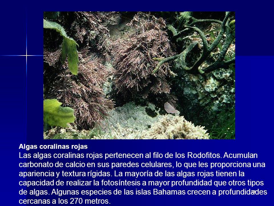 13 Algas coralinas rojas Las algas coralinas rojas pertenecen al filo de los Rodofitos. Acumulan carbonato de calcio en sus paredes celulares, lo que
