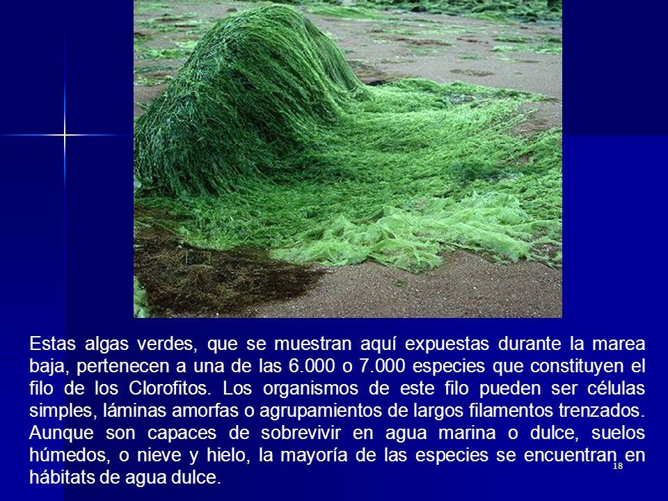 18 Estas algas verdes, que se muestran aquí expuestas durante la marea baja, pertenecen a una de las 6.000 o 7.000 especies que constituyen el filo de