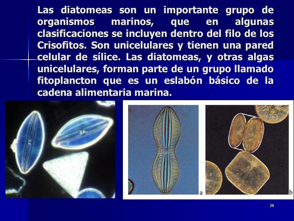 20 Las diatomeas son un importante grupo de organismos marinos, que en algunas clasificaciones se incluyen dentro del filo de los Crisofitos. Son unic