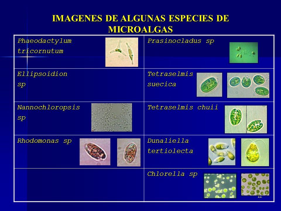22 IMAGENES DE ALGUNAS ESPECIES DE MICROALGAS Phaeodactylumtricornutum Prasinocladus sp EllipsoidionspTetraselmissuecica Nannochloropsissp Tetraselmis
