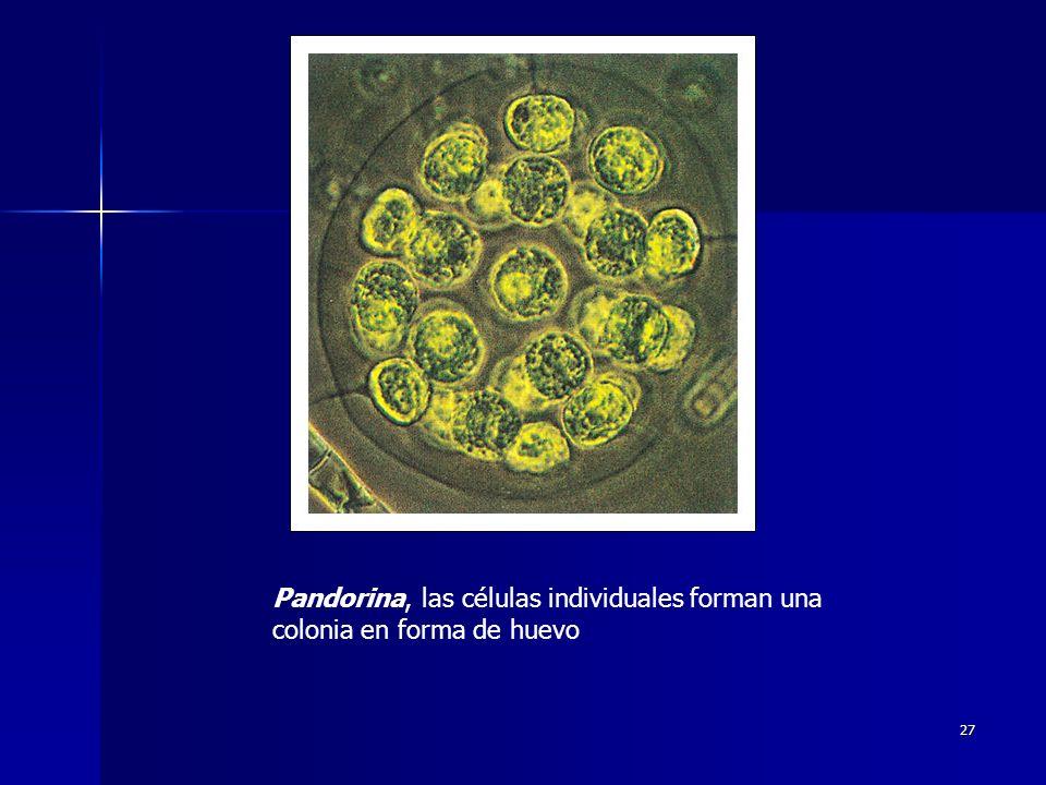 27 Pandorina, las células individuales forman una colonia en forma de huevo