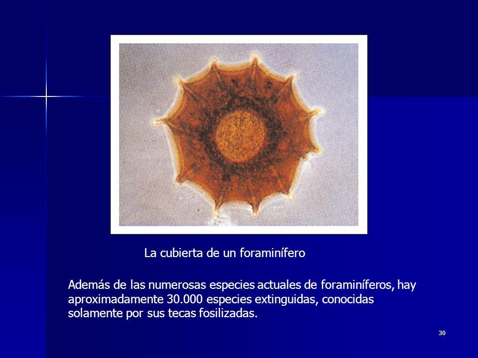 30 La cubierta de un foraminífero Además de las numerosas especies actuales de foraminíferos, hay aproximadamente 30.000 especies extinguidas, conocid
