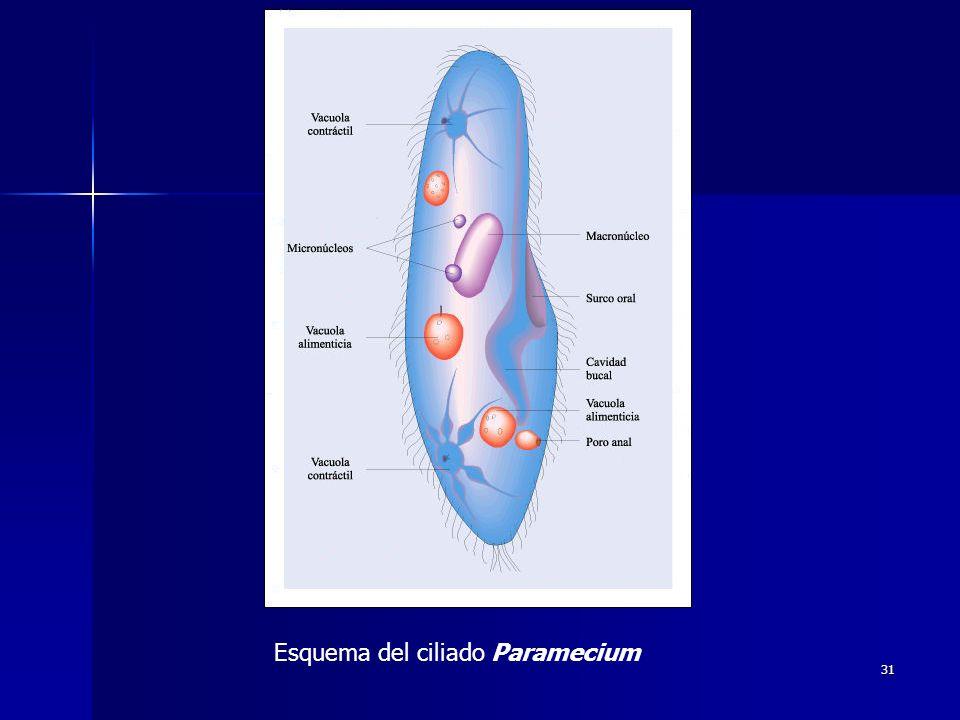 31 Esquema del ciliado Paramecium