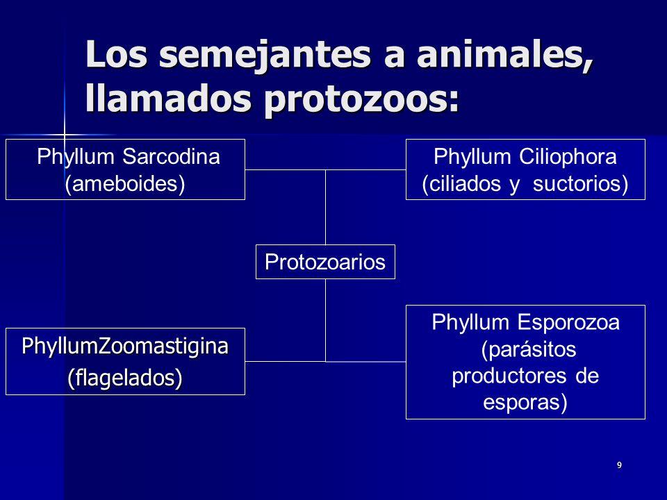 9 Los semejantes a animales, llamados protozoos: PhyllumZoomastigina(flagelados) Phyllum Sarcodina (ameboides) Phyllum Ciliophora (ciliados y suctorio