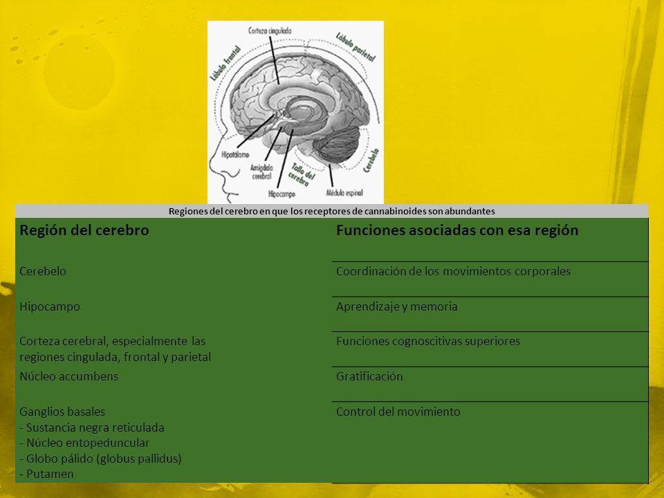 Regiones del cerebro en que los receptores de cannabinoides son abundantes Región del cerebroFunciones asociadas con esa región CerebeloCoordinación d