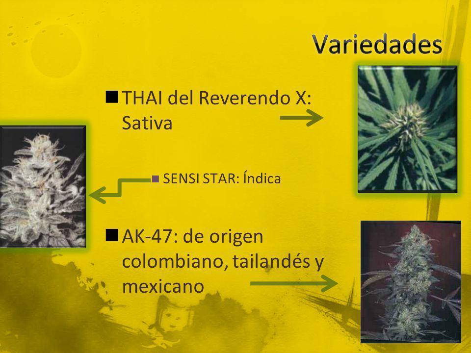 THAI del Reverendo X: Sativa SENSI STAR: Índica AK-47: de origen colombiano, tailandés y mexicano