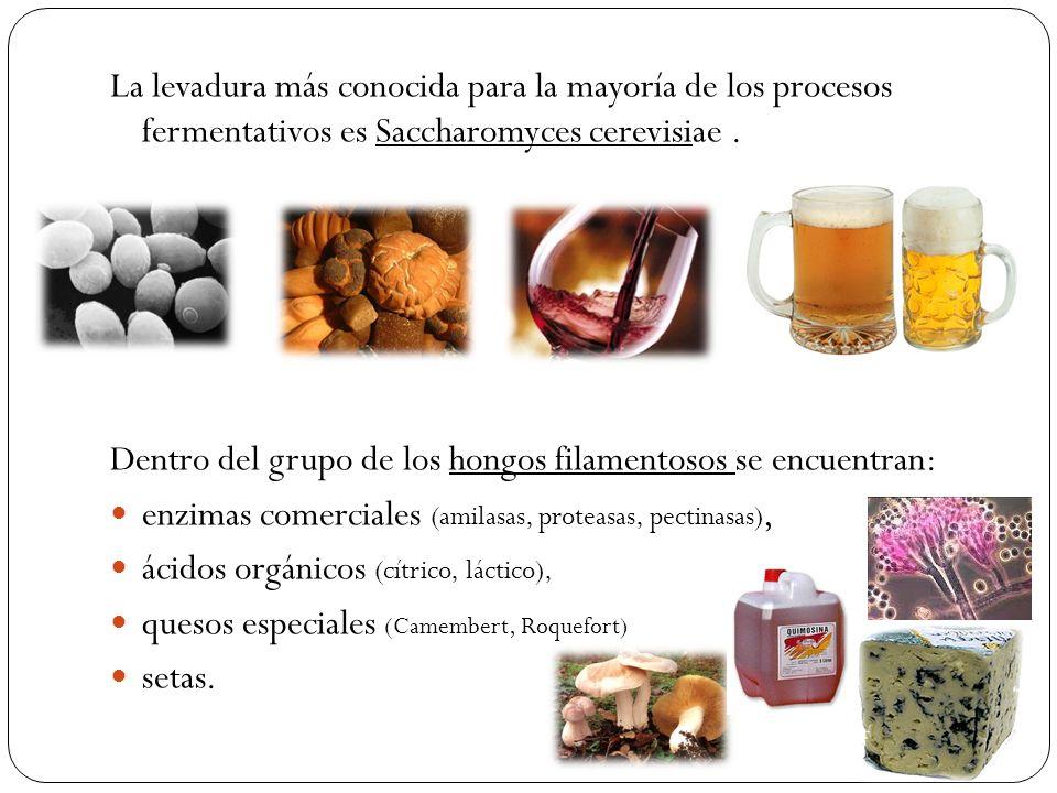 La levadura más conocida para la mayoría de los procesos fermentativos es Saccharomyces cerevisiae. Dentro del grupo de los hongos filamentosos se enc