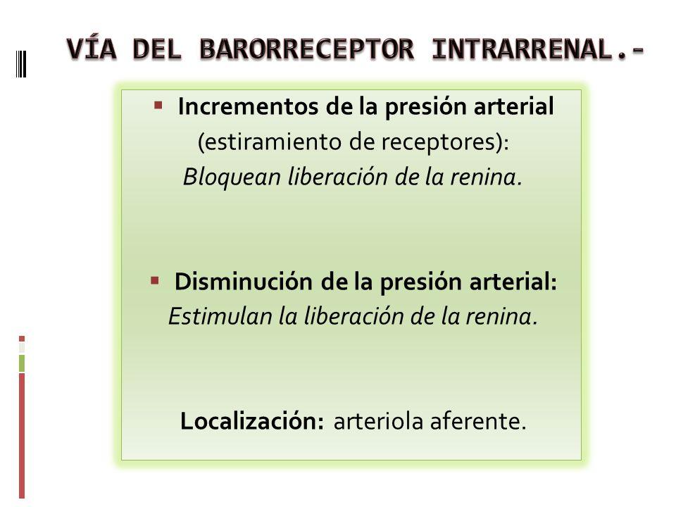 Incrementos de la presión arterial (estiramiento de receptores): Bloquean liberación de la renina. Disminución de la presión arterial: Estimulan la li