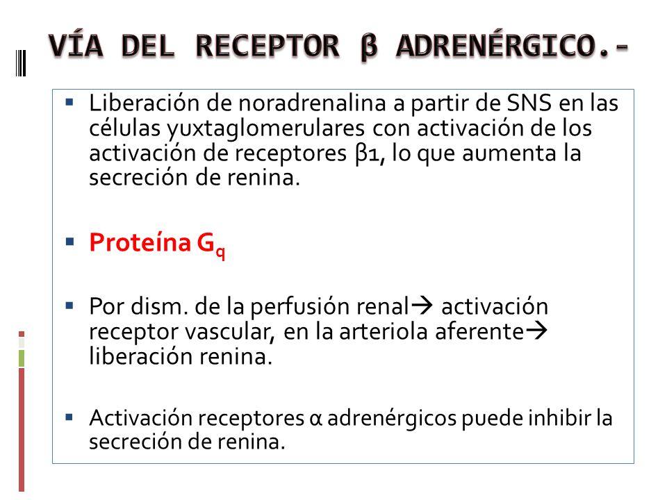 Liberación de noradrenalina a partir de SNS en las células yuxtaglomerulares con activación de los activación de receptores β1, lo que aumenta la secr