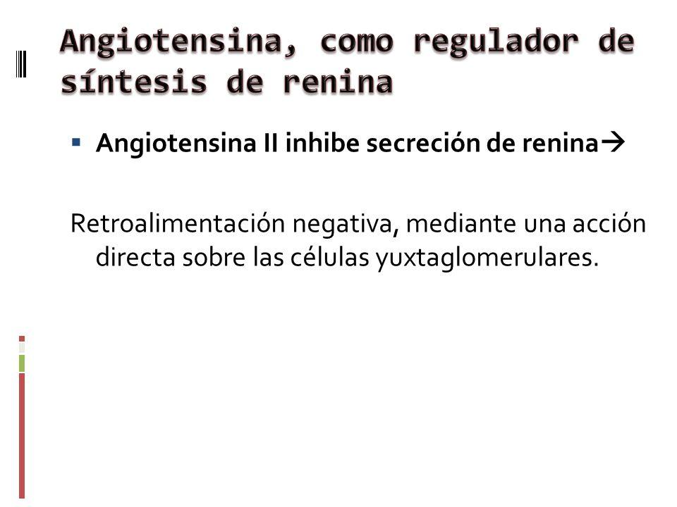 Angiotensina II inhibe secreción de renina Retroalimentación negativa, mediante una acción directa sobre las células yuxtaglomerulares.