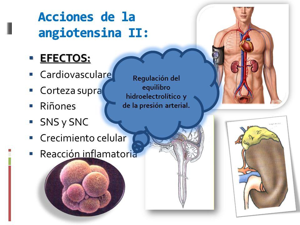 EFECTOS: EFECTOS: Cardiovasculares. Corteza suprarrenal Riñones SNS y SNC Crecimiento celular Reacción inflamatoria Regulación del equilibro hidroelec