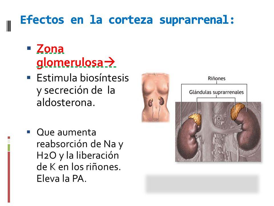 Zona glomerulosa Estimula biosíntesis y secreción de la aldosterona. Que aumenta reabsorción de Na y H2O y la liberación de K en los riñones. Eleva la