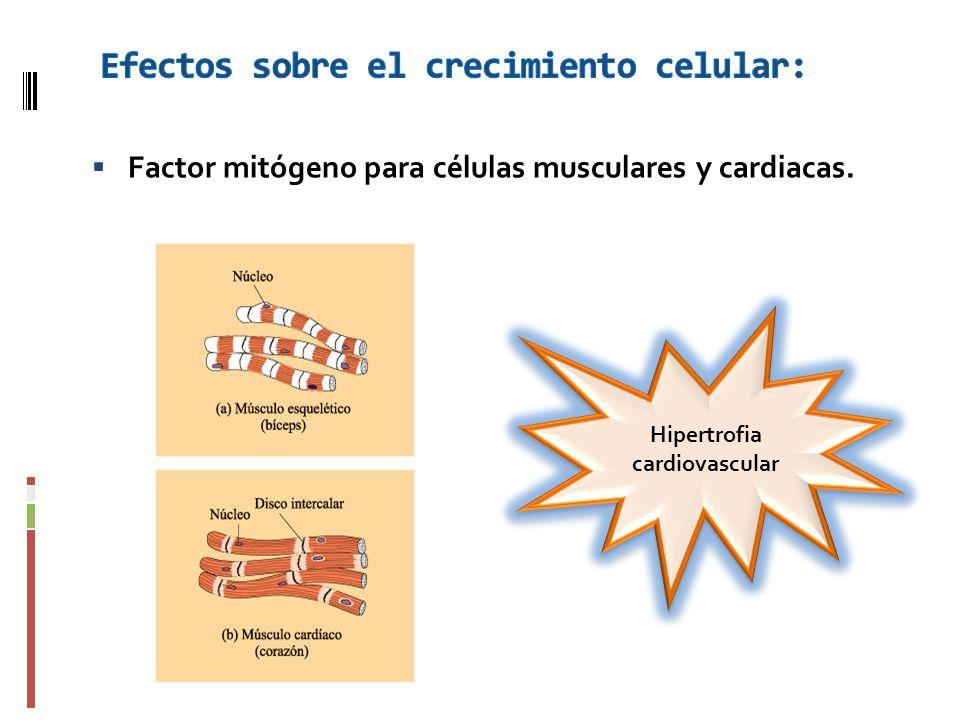 Factor mitógeno para células musculares y cardiacas. Hipertrofia cardiovascular