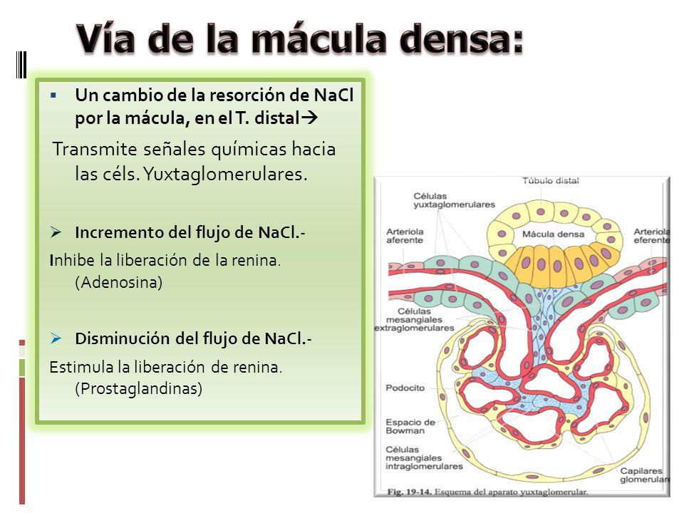 Un cambio de la resorción de NaCl por la mácula, en el T. distal Transmite señales químicas hacia las céls. Yuxtaglomerulares. Incremento del flujo de