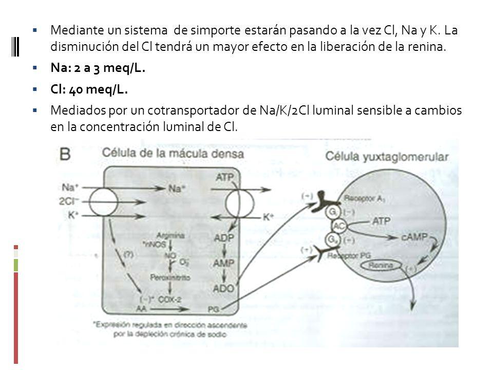 Mediante un sistema de simporte estarán pasando a la vez Cl, Na y K. La disminución del Cl tendrá un mayor efecto en la liberación de la renina. Na: 2