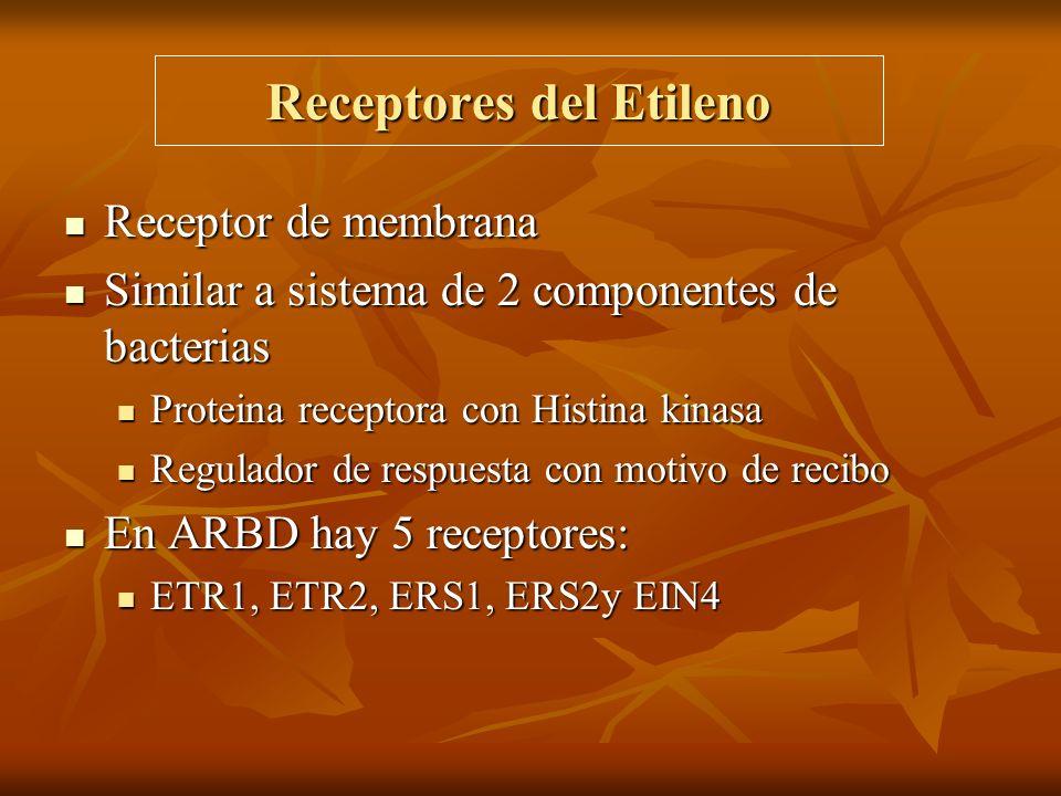 Receptores del Etileno Receptor de membrana Receptor de membrana Similar a sistema de 2 componentes de bacterias Similar a sistema de 2 componentes de