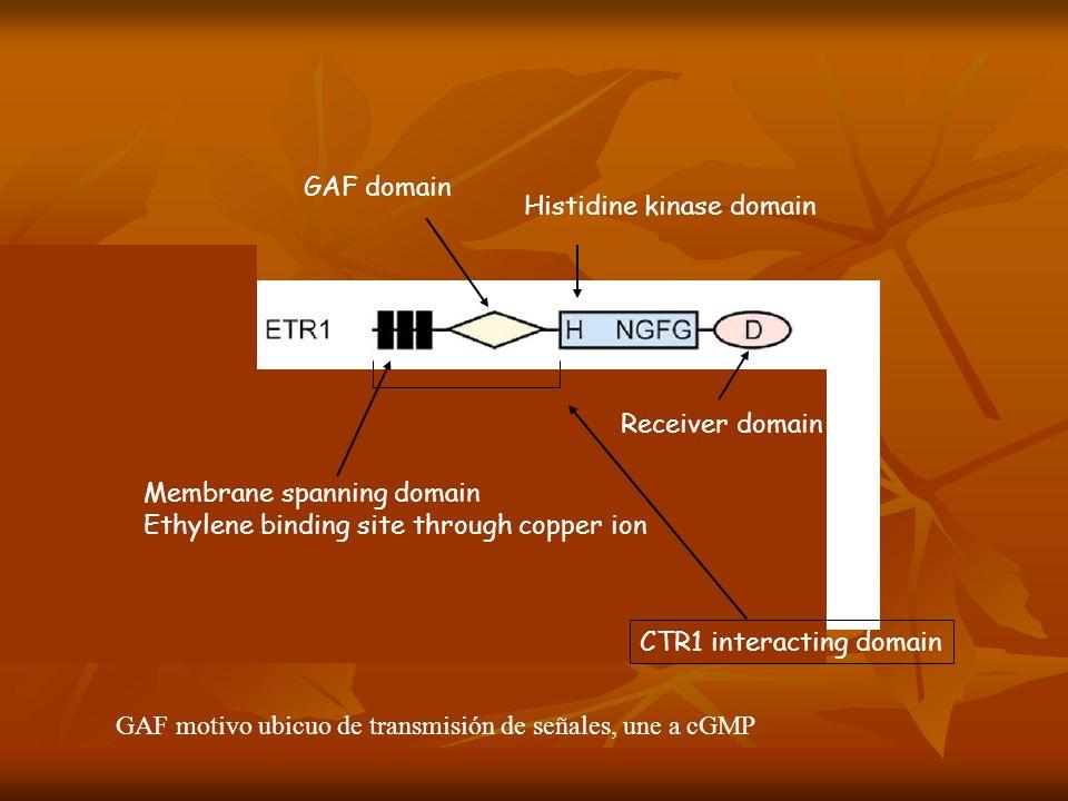 Membrane spanning domain Ethylene binding site through copper ion Histidine kinase domain Receiver domain CTR1 interacting domain GAF domain GAF motiv