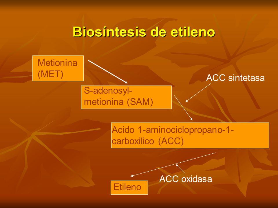 Biosíntesis de etileno Metionina (MET) S-adenosyl- metionina (SAM) Acido 1-aminociclopropano-1- carboxilico (ACC) Etileno ACC sintetasa ACC oxidasa