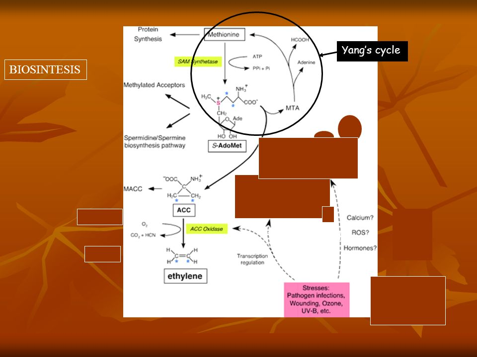 Vía de señalamiento CTR1.mutante es TR constitutiva CTR1.
