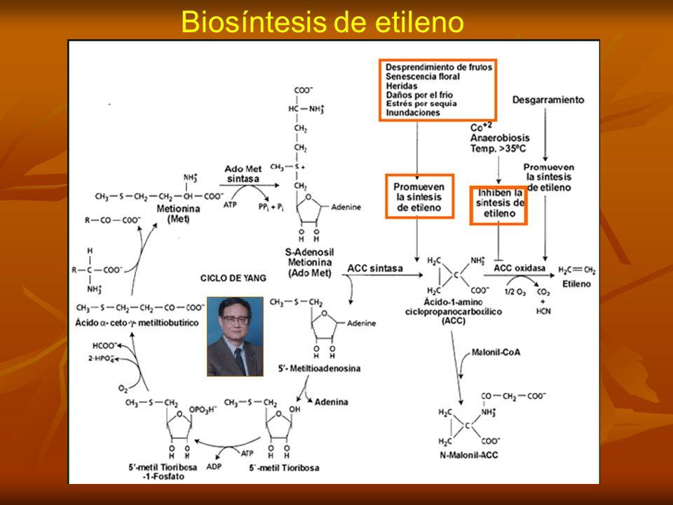 Factores que afectan síntesis de etileno Promotores Promotores Oxígeno Oxígeno Auxinas Auxinas Etileno Etileno Ac.