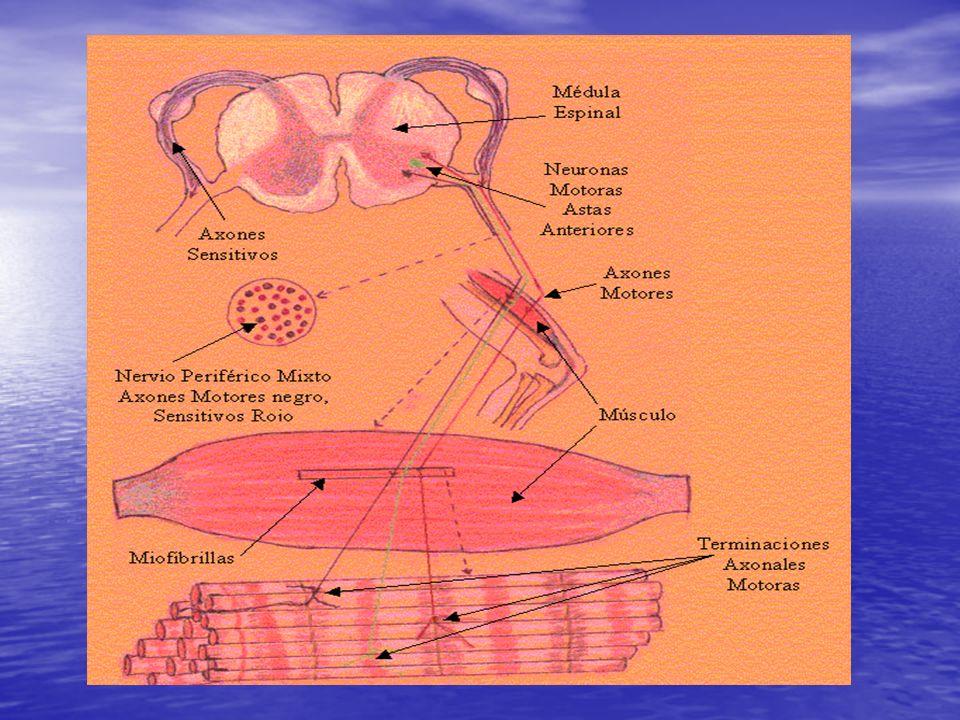 SINTOMAS POSITIVOS POSTURAS ANORMALES POSTURAS ANORMALES EXAGERACION DE LOS REFLEJOS PROPIOCEPTIVOS EXAGERACION DE LOS REFLEJOS PROPIOCEPTIVOS EXAGERACION DE LOS REFLEJOS CUTANEOS EXAGERACION DE LOS REFLEJOS CUTANEOS