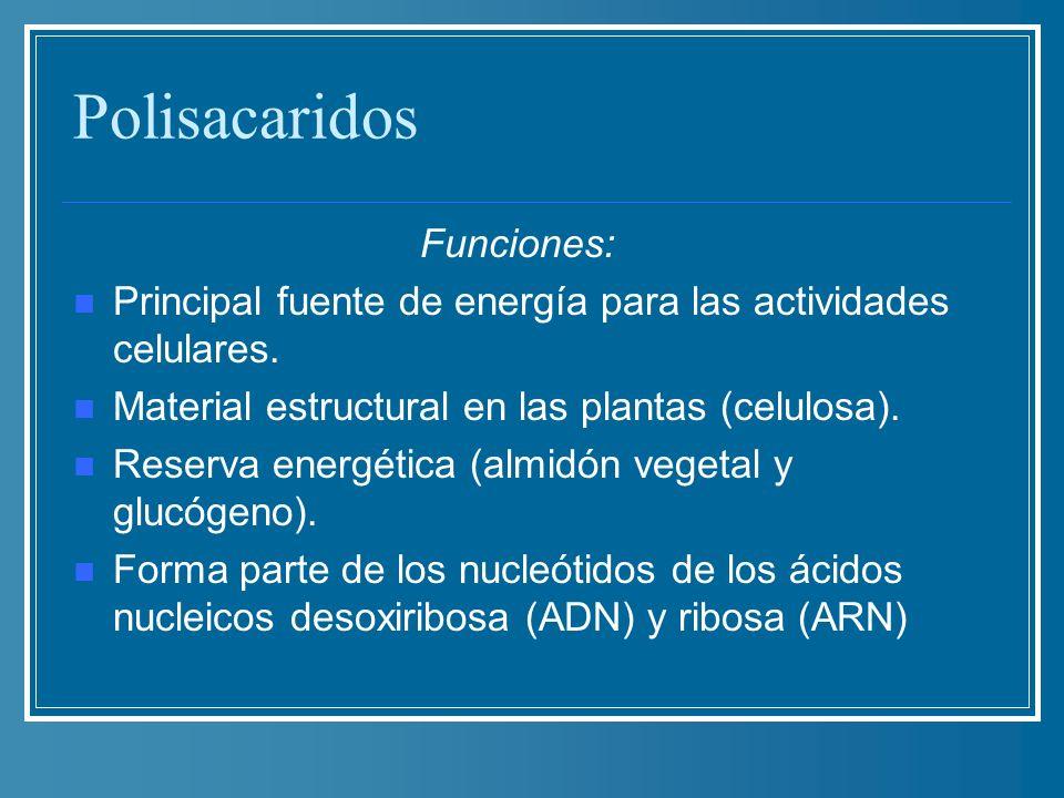Polisacaridos Funciones: Principal fuente de energía para las actividades celulares. Material estructural en las plantas (celulosa). Reserva energétic