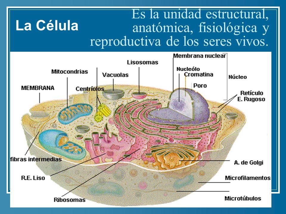 Es la unidad estructural, anatómica, fisiológica y reproductiva de los seres vivos. La Célula