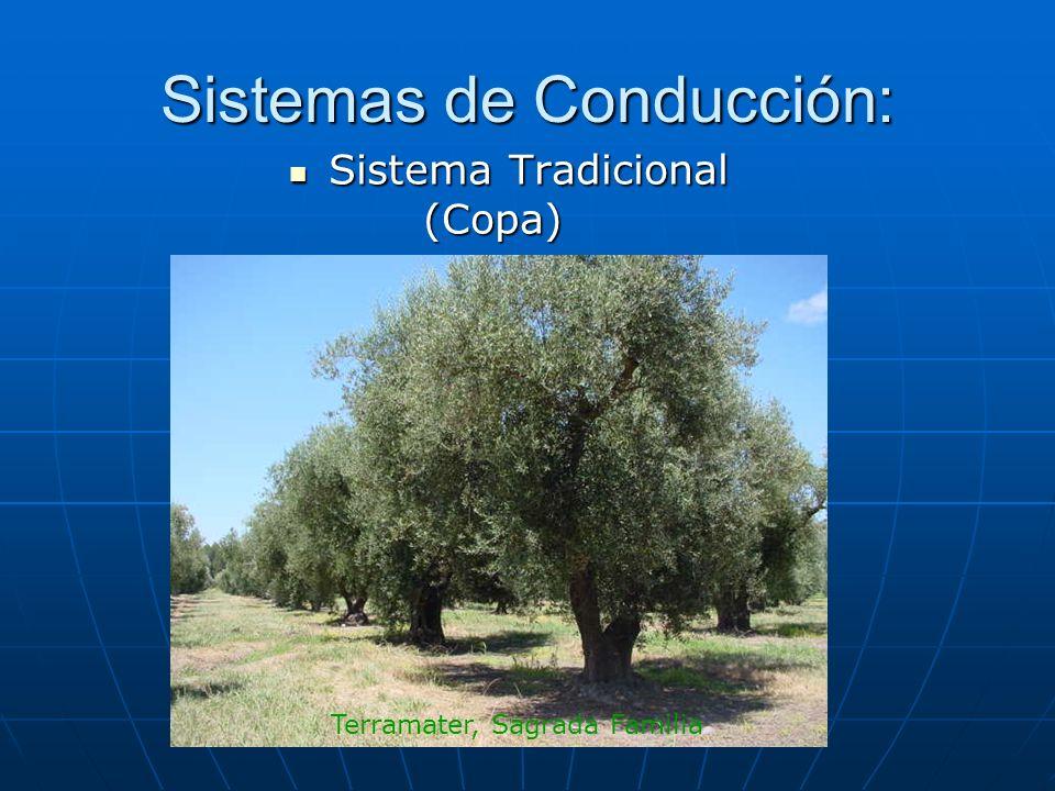 Sistemas de Conducción: Sistema Tradicional (Copa) Sistema Tradicional (Copa) Terramater, Sagrada Familia