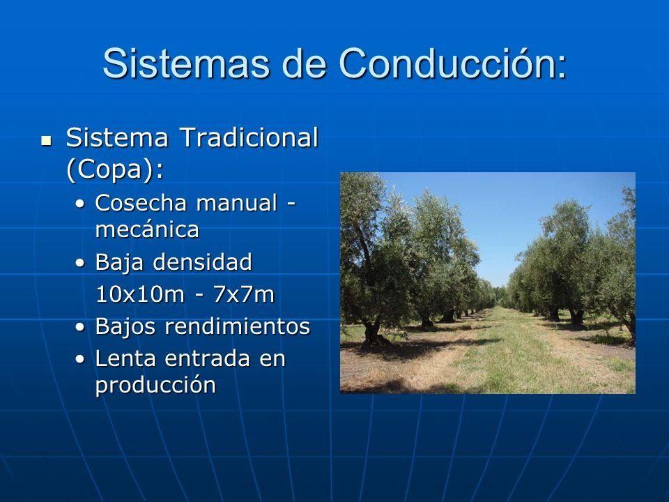 Sistemas de Conducción: Sistema Tradicional (Copa): Sistema Tradicional (Copa): Cosecha manual - mecánicaCosecha manual - mecánica Baja densidadBaja d