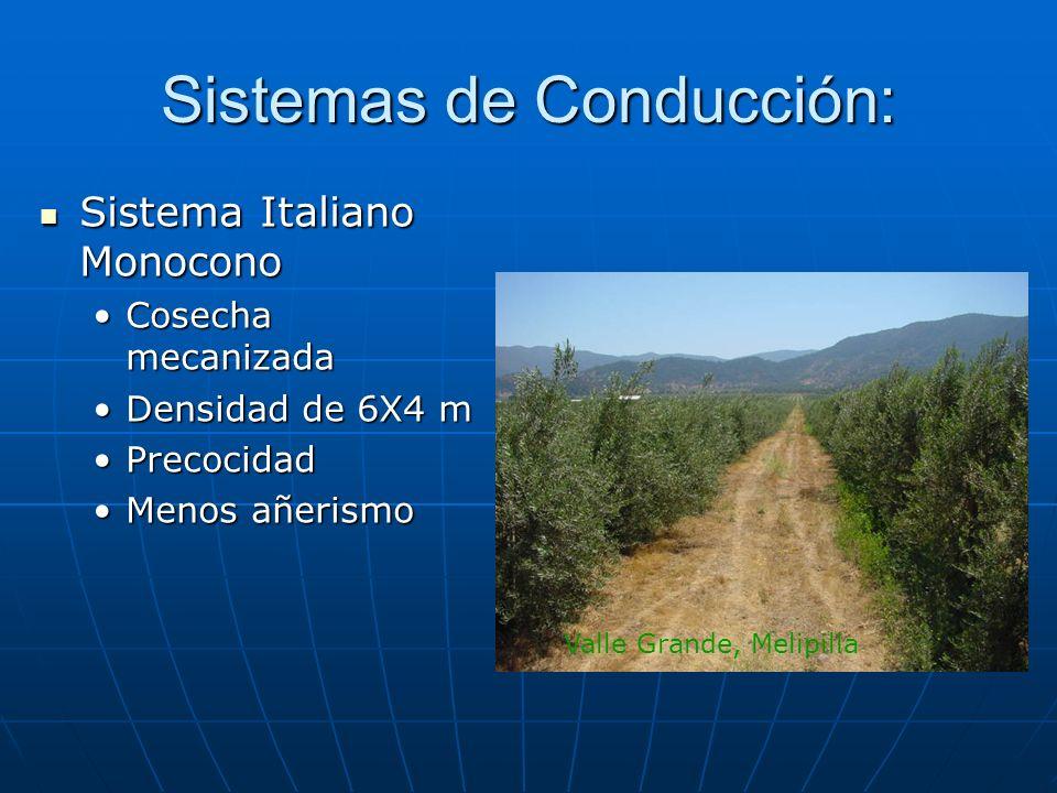 Sistemas de Conducción: Sistema Italiano Monocono Sistema Italiano Monocono Cosecha mecanizadaCosecha mecanizada Densidad de 6X4 mDensidad de 6X4 m Pr