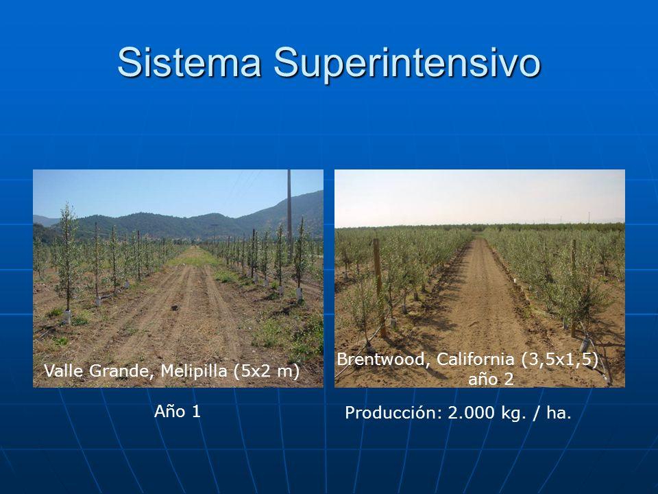 Sistema Superintensivo Valle Grande, Melipilla (5x2 m) Brentwood, California (3,5x1,5) año 2 Año 1 Producción: 2.000 kg. / ha.