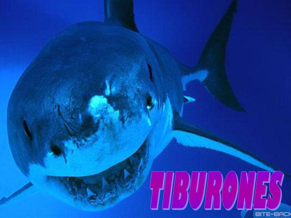 Tiburón Ballena: Es el tiburón y el pez más grande que existe Llegan a medir hasta 20 m y a pesar hasta 12,000 kg Se ubican en aguas templadas y mares tropicales con excepción del mar Mediterráneo.