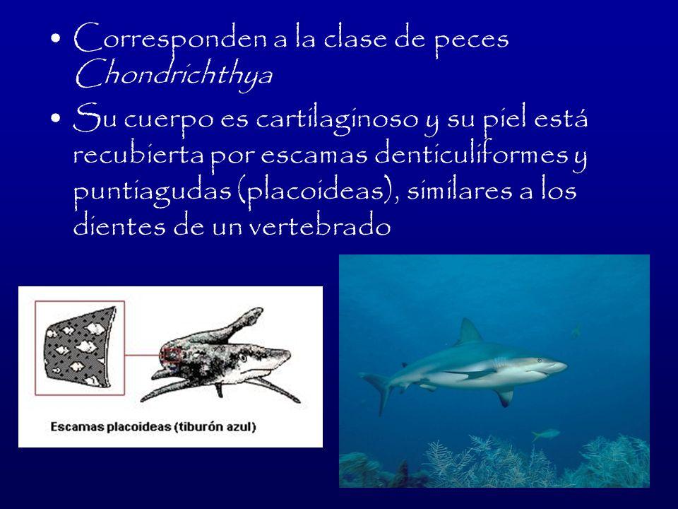 TIBURONES MÁS EXTRAÑOS Tiburón Cigarro: Se adhiere a su comida (peces, otros tiburones, pulpos, etc.) con sus labios succionadores y la retuerce.