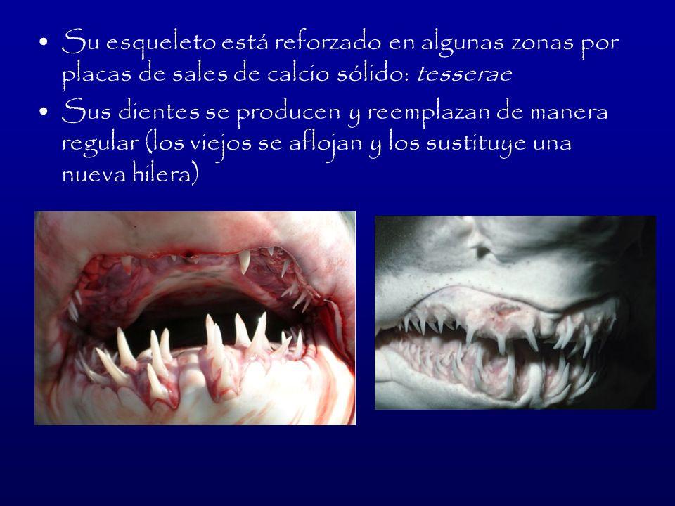 Tiburón Duende: Tiene una nariz de 20 cm de largo y 5 cm de ancho Viven a 1200 m de profundidad Pueden llegar a medir hasta 4 m y pesar 160 kg En su cuerpo presentan una ligera tonalidad rosa grisácea Se alimenta de calamares, camarones, pulpos, entre otros organismos de cuerpo blando Habita en Japón, Australia y África