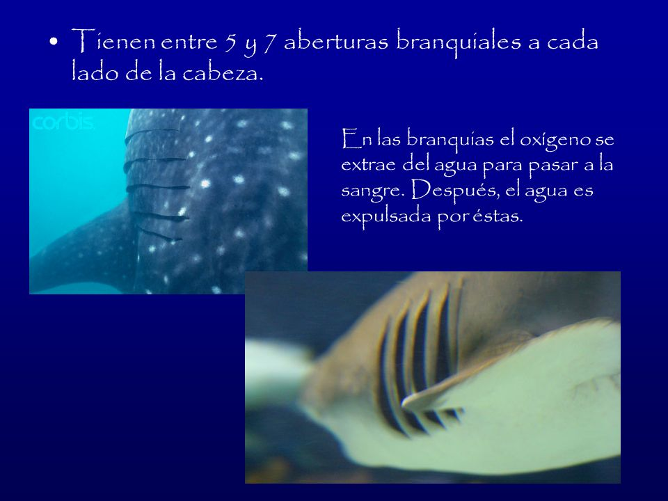 Anatomía del tiburón Permiten la estabilización y eliminan el bamboleo Ayuda a la propulsión.