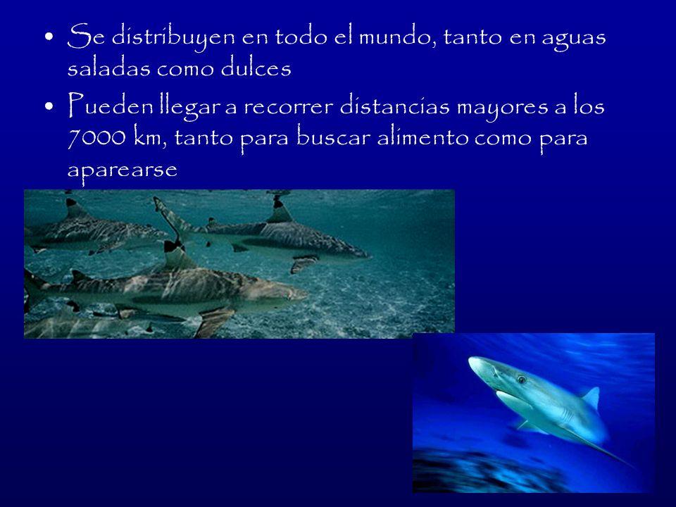 ALIMENTACIÓN De acuerdo a la especie, pueden alimentarse de plancton (tiburón ballena) o de presas más grandes como peces y focas (tiburón blanco)