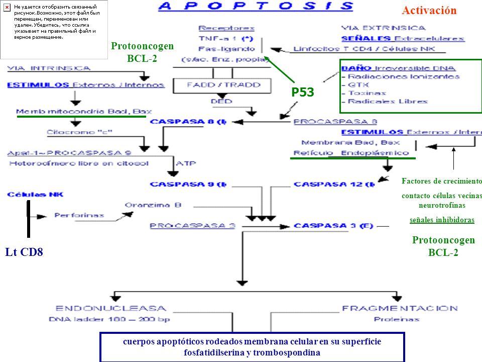 cuerpos apoptóticos rodeados membrana celular en su superficie fosfatidilserina y trombospondina Activación Factores de crecimiento contacto células v