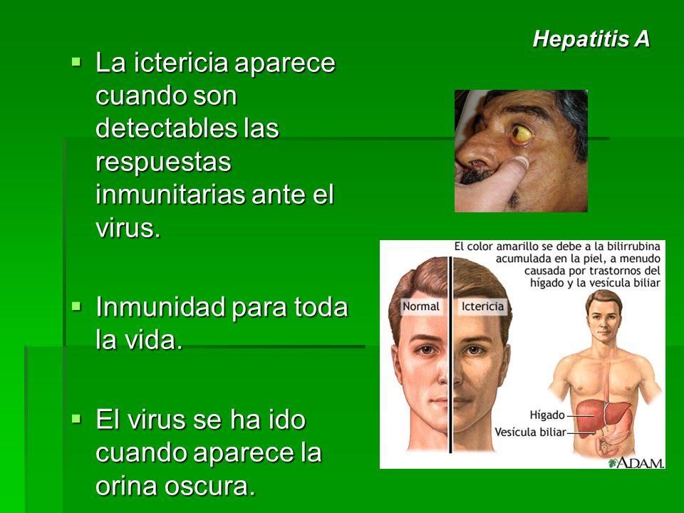 La ictericia aparece cuando son detectables las respuestas inmunitarias ante el virus. La ictericia aparece cuando son detectables las respuestas inmu