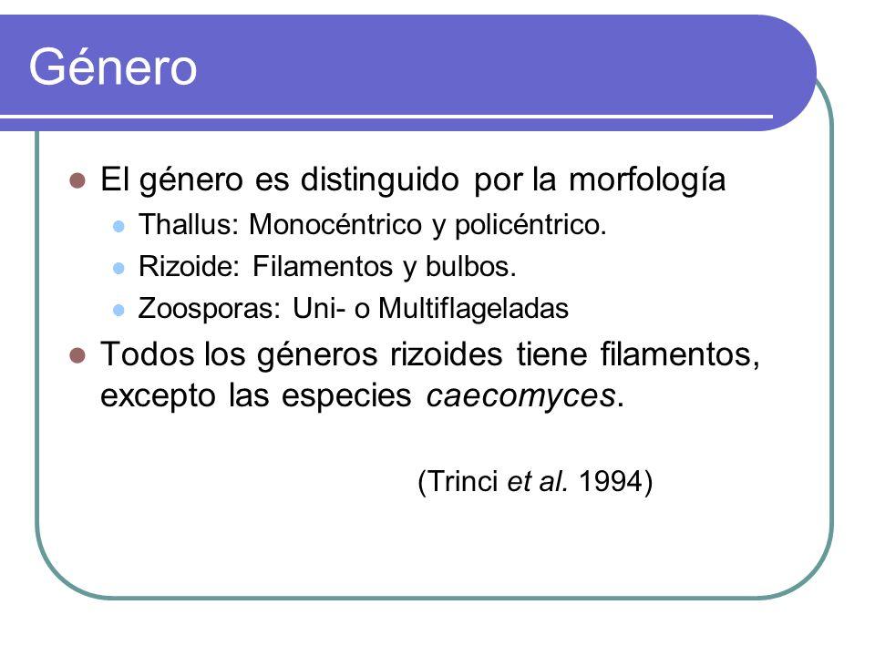 Género El género es distinguido por la morfología Thallus: Monocéntrico y policéntrico. Rizoide: Filamentos y bulbos. Zoosporas: Uni- o Multiflagelada