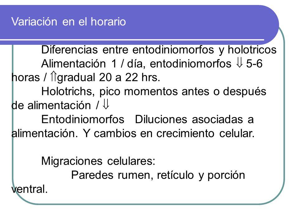 Variación en el horario Diferencias entre entodiniomorfos y holotricos Alimentación 1 / día, entodiniomorfos 5-6 horas / gradual 20 a 22 hrs. Holotric