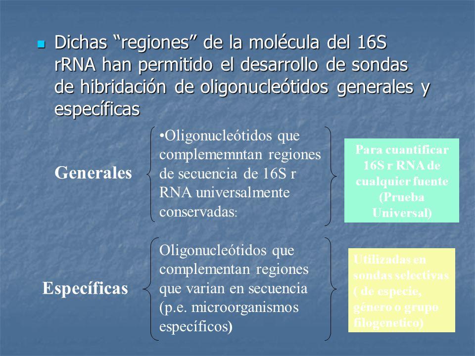 Dichas regiones de la molécula del 16S rRNA han permitido el desarrollo de sondas de hibridación de oligonucleótidos generales y específicas Dichas re