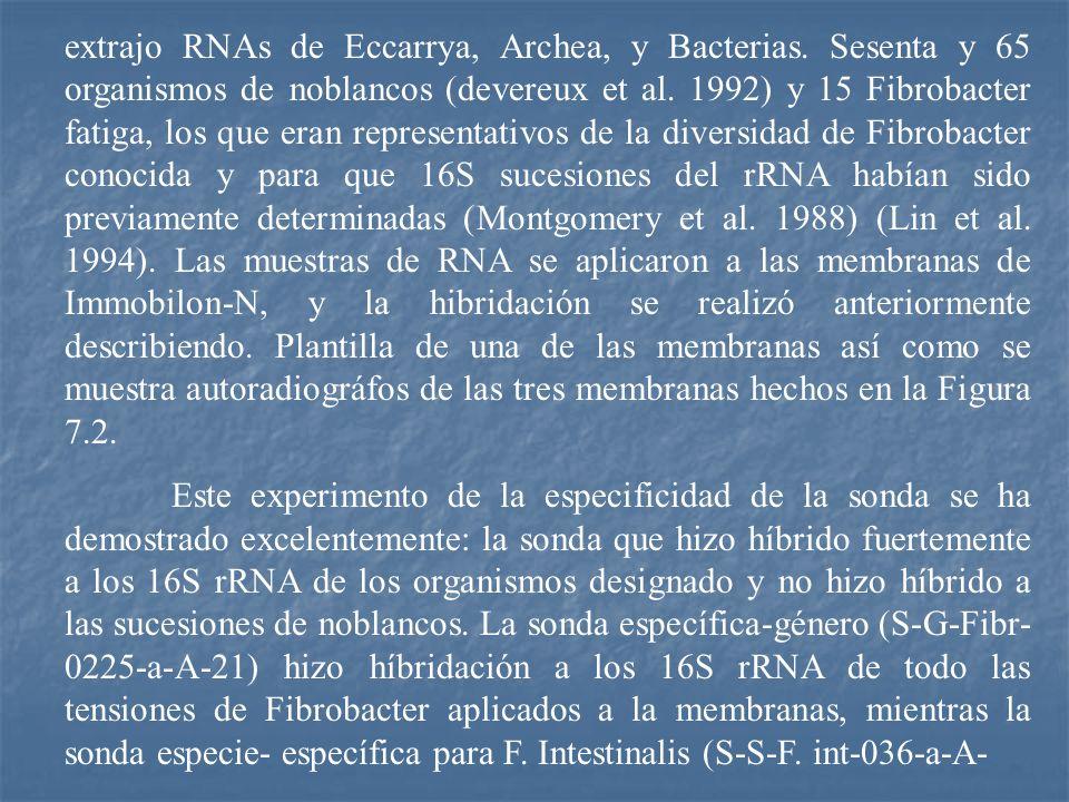 extrajo RNAs de Eccarrya, Archea, y Bacterias. Sesenta y 65 organismos de noblancos (devereux et al. 1992) y 15 Fibrobacter fatiga, los que eran repre